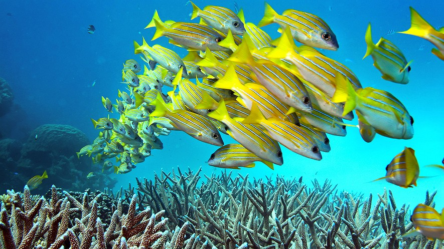 School Of Fish Swimming Near Great Barrier Reef (Photo: Rick Loomis/Los Angeles Times/TNS)