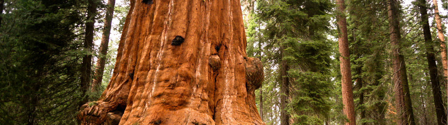 Giants Grove - Redwood Reforestation Project (giantsgrove.ie)