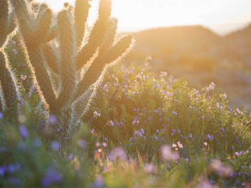 Superbloom In The Desert: Anza Borrego California Wildflowers