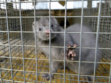 Nearly 40,000 Caged Mink Released By Activists To Avoid Fur Skinning
